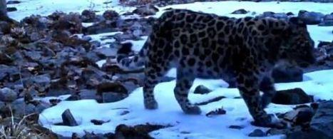 Des images d'un jeune Amur, le léopard le plus menacé au monde | Biodiversité | Scoop.it