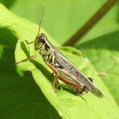 Bientôt des criquets pèlerins gaumais dans nos assiettes | Entomophagy: Edible Insects and the Future of Food | Scoop.it