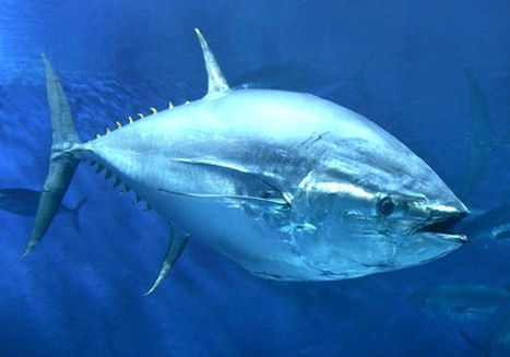 How Eating Sushi Endangers the Survival of the Atlantic Bluefin Tuna | EcoWatch | Scoop.it