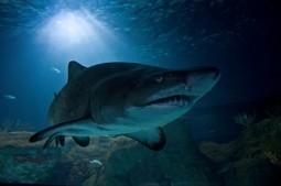 5 mil crias por temporada desovan tiburones toro en el Golfo de México | Canal Azul 24 | Agua | Scoop.it