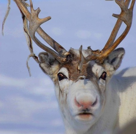 The Scientific Reason Why Reindeer Have Red Noses | The Perfect Storm Team | Scoop.it
