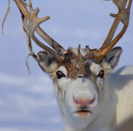 The Scientific Reason Why Reindeer Have Red Noses | Crowdfunding and Learning | Scoop.it