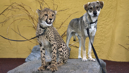 Dogs befriend cheetahs to aid cats' survival | Romantic Comedy - Trish Jackson | Scoop.it