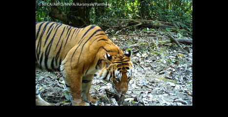 Abundant Signs of Life in India's Namdapha Tiger Reserve | Panthera | Green Calling | Scoop.it