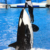 Blackfish Documentary: Truth And Tragedy | Animal Cruelty | Scoop.it