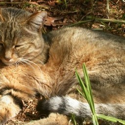 CHINE : Cats lived alongside Chinese farmers 5,300 years ago | Mégalithismes | Scoop.it