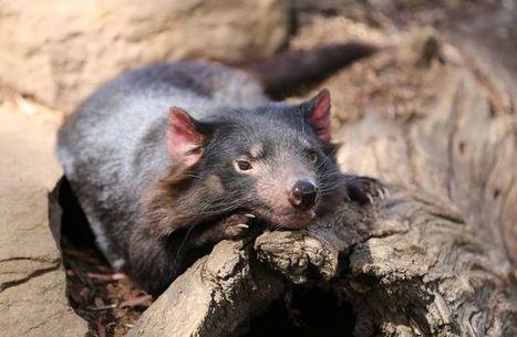 Secret population of Tasmanian devils discovered in remote forest | Biodiversity protection | Scoop.it