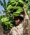 Fungus threatens top banana | Sustain Our Earth | Scoop.it
