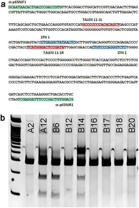 Live pigs produced from genome edited zygotes : Scientific Reports : Nature Publishing Group | genome editing | Scoop.it