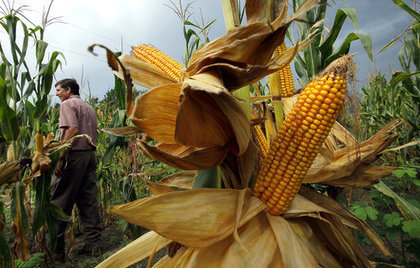 US: Drought-resistant corn shows promise under real-life conditions | MAIZE | Scoop.it