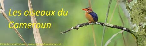 Page d'accueil | Cameroun ornithologie | Scoop.it