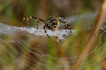 Las propiedades de la seda de araña existían antes de la diversificación de especies | Bichos en Clase | Scoop.it