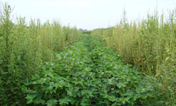 Texas Requests 'Emergency Use' of Restricted Herbicide to Kill Superweeds | EcoWatch | Scoop.it