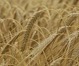 Making barley less thirsty | Plant Sciences | Scoop.it