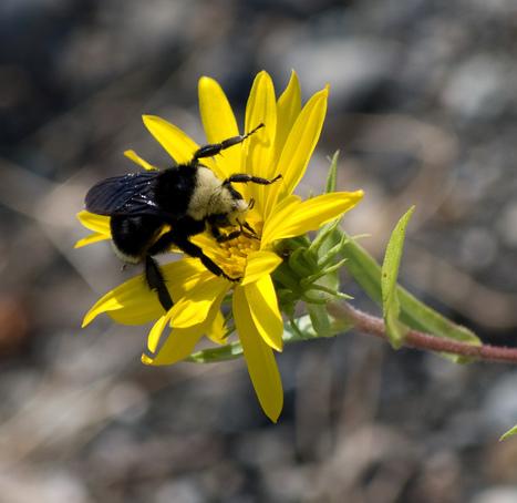 Chez les bourdons, c'est la diversité florale qui compte ! | EntomoNews | Scoop.it