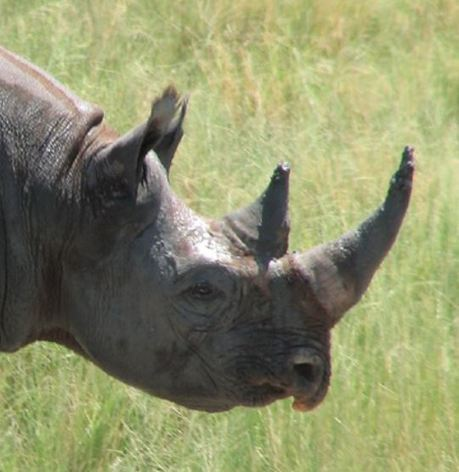 Hunter Allowed to Import Rhino Trophy into U.S. for First Time in 33 Years | Extinction Countdown, Scientific American Blog Network | African News | Scoop.it