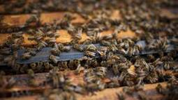 No honey, more problems: A 'catastrophic' year for bee colonies | Food and Agriculture | Scoop.it