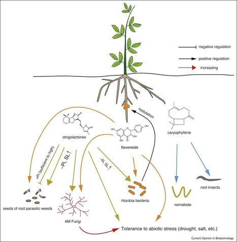 Current Opinion in Biotechnology: Engineering the plant rhizosphere | Plant Biology Teaching Resources (Higher Education) | Scoop.it
