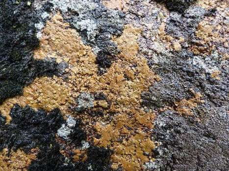 Photo de Lichen : Ionaspis lacustris - Lecanora lacustris - Hymenelia lacustris - Champignons lichénisés | Faaxaal Forum Photos gratuite Faune et Flore | Scoop.it