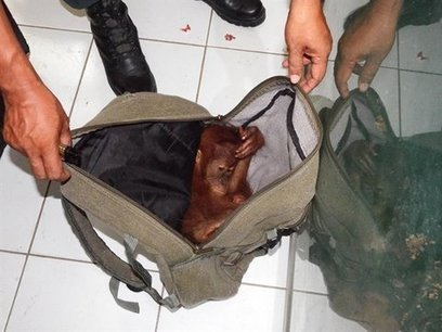 Sumatran Authorities Arrest Wildlife Dealer Caught with Young Orangutan | Wildlife Trafficking: Who Does it? Allows it? | Scoop.it