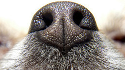 Por qué los perros se huelen el trasero - BBC Mundo - Noticias | Ingeniería Biomédica | Scoop.it