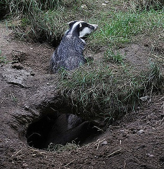 The Secret Life of Badgers – Photos and Facts «  Animal Writes: PETA Foundation's Blog | Global Milling | Scoop.it