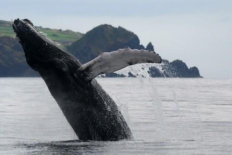 Açores : Ecotourisme et découverte des Cétacés sur l'île de São Miguel | TOURISME Responsable et Durable | Scoop.it