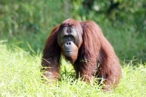 Indonesia's forests increasingly empty of wildlife | Forest | Scoop.it