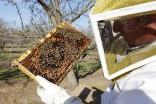 Fewer bees in US threaten almond crop | Sustain Our Earth | Scoop.it