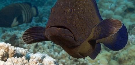 L'urine des gros poissons est vitale pour la croissance du corail | Biodiversité | Scoop.it