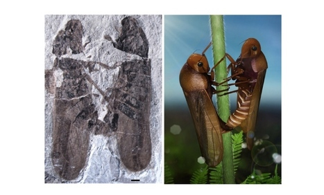Fossilized insects prove: Mating technique has remained unchanged for 165 million years | Amazing Science | Scoop.it