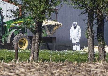 Iowa searching for help with millions of dead chickens   sustainablity   Scoop.it