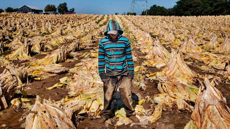 US Child Tobacco Farms: 60hrs A Week In Heat, Nicotine Exposure | Permaculture, Horticulture, Homesteading, Bio-Remediation, & Green Tech | Scoop.it