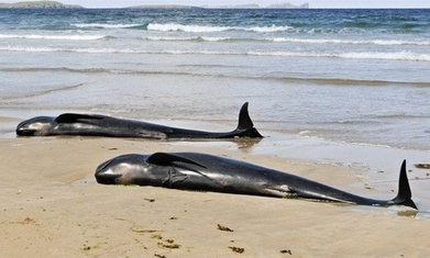Stranded long-finned pilot whale on Essex river starved, says expert | Seahorse Project | Scoop.it