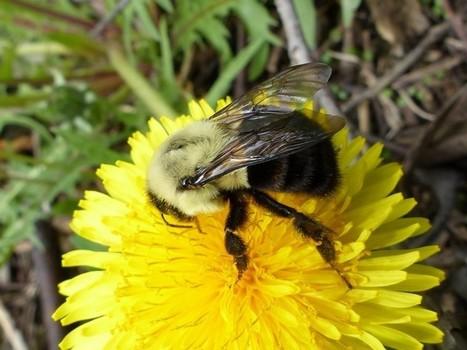 Photo d'hyménoptère : Bourdon fébrile - Bombus impatiens - Common Eastern Bumble Bee   Fauna Free Pics - Public Domain - Photos gratuites d'animaux   Scoop.it