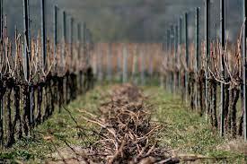 Des chaussettes bio pour les pieds de vigne | Le Vin et + encore | Scoop.it