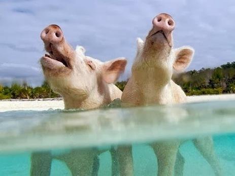 Curiosidades del Mundo: Exuma Cays: la isla de los cerdos nadadores (Bahamas). | ANIMALES | Scoop.it