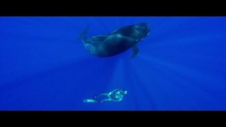 Vidéo Full HD | Plongée en apnée avec les baleines-pilotes ! | Plongeurs.TV | Scoop.it