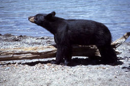 Don't Lift Ban on Black Bear Hunting | GarryRogers Biosphere News | Scoop.it