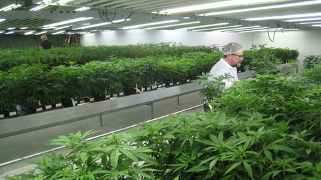 Medical marijuana workers start unionizing with government help ... | Pain Killer the weed | Scoop.it