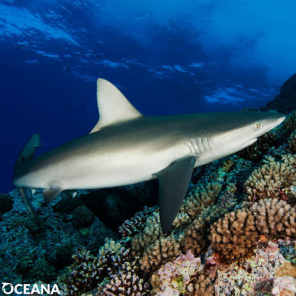 Tell Congress to Ban the Trade of Shark Fins in the U.S. | Oceans and Wildlife | Scoop.it