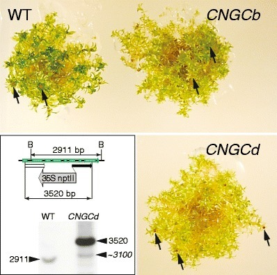 The CNGCb and CNGCd genes from Physcomitrella patens moss encode for thermosensory calcium channels responding to fluidity changes in the plasma membrane - Springer | plant cell genetics | Scoop.it