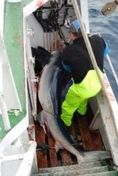 Les aimants : des pièges pour les requins bleus ? - INSU-CNRS (Communiqué de presse) | Dans mon sac de plouf | Scoop.it