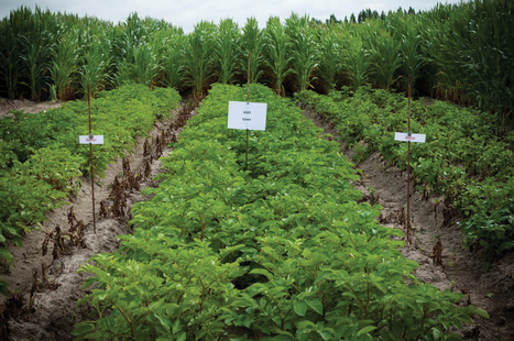 Field tests confirm the potential of genetically modified potatoes for sustainable potato cultivation (2012) | Plants and Microbes | Scoop.it