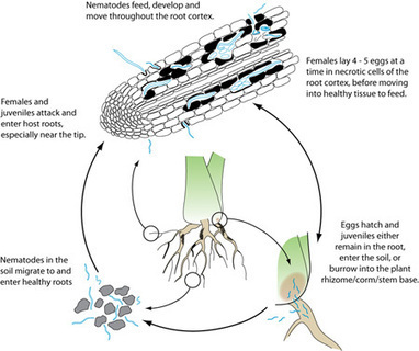 identification of plant parasitic nematodes infecting Plant parasitic nematodes have often been controlled by soil fumigation with toxic chemicals the necessary implementation of sustainable strategies such as crop rotation requires knowledge of the species and numbers of nematodes in agricultural samples.