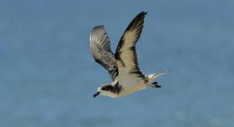 Ancient seabird bones reveal human effects on ocean food chain - Science Recorder   Ancient Origins of Science   Scoop.it