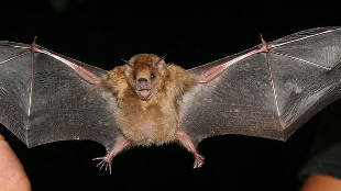 [Another] Influenza Found in Bats | The Scientist Magazine® | Virology News | Scoop.it