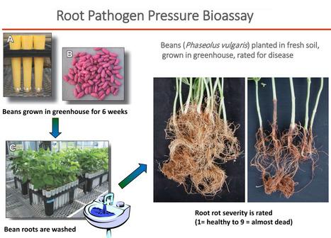 Le test de santé du sol Cornell : mesure de la pression en pathogène sur les racines du haricot, en plus du Carbone Actif | MOF Matière Organique Fugace réactive du sol | Scoop.it