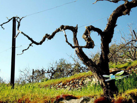 Cyprus Vines and Territories - Terroirs in Cyprus | Wine Cyprus | Scoop.it