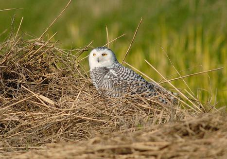 Record Number of Snowy Owls Migrating to the Region a Treat For Scientists, Bird Watchers | News | Scoop.it